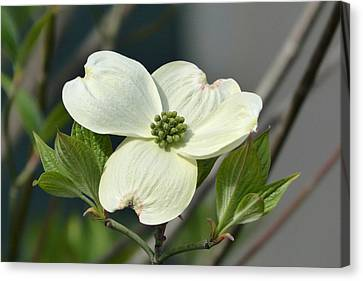 Canvas Print featuring the photograph Dogwood by Cindy McDaniel