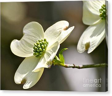 Dogwood Delight Canvas Print by Eve Spring