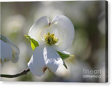 Canvas Print featuring the photograph Dogwood Flower by Tannis  Baldwin