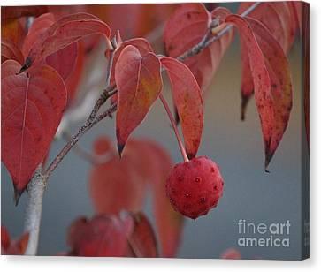 Dogwood Fruit Canvas Print