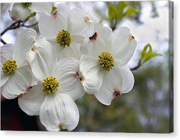 Dogwood In The Wind Canvas Print by Gene Walls