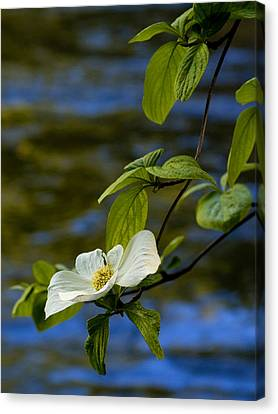 Yosemite Valley Canvas Print - Dogwood On The Merced by Bill Gallagher