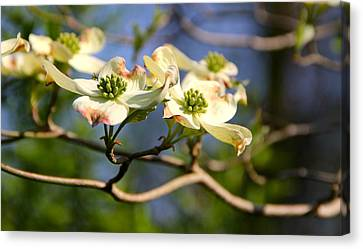 Dogwood Canvas Print by Tracy Male