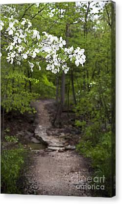 Dogwood Tree Along A Wooded Arkansas Trail Canvas Print by Brandon Alms