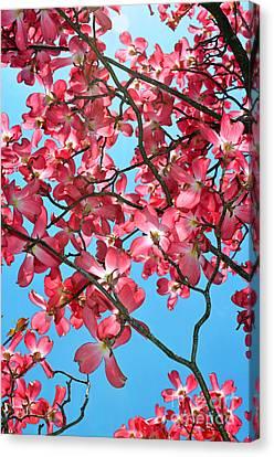 Dogwood Tree Flowers And Blue Sky Canvas Print