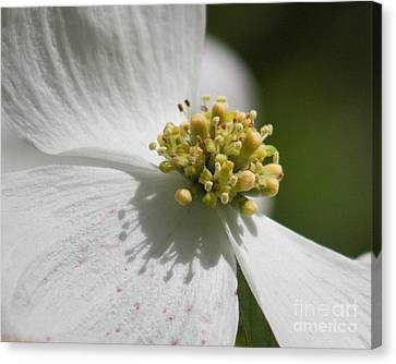 Canvas Print featuring the photograph Dogwood Up Close by Anita Oakley
