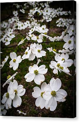 Dogwoods Canvas Print by Wayne Meyer