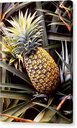 Pineapple Canvas Print - Dole Pineapple Plantation, Oahu, Hawaii by Ned Haines