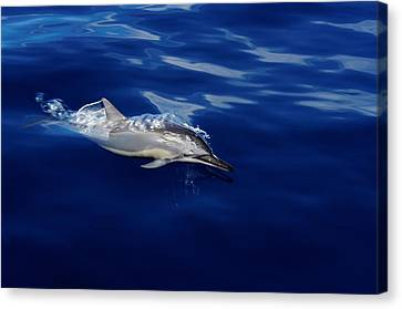 Dolphin Breaking Free Canvas Print by John  Greaves