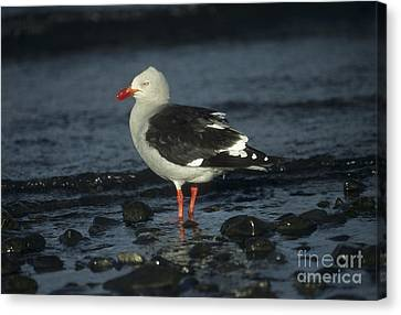 Dolphin Gull Canvas Print by James Brunker