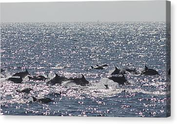 Dolphin Pod Canvas Print by Valerie Broesch