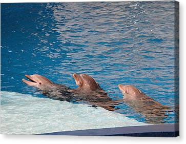 Dolphin Show - National Aquarium In Baltimore Md - 1212183 Canvas Print by DC Photographer