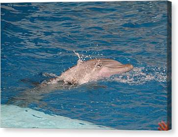 Dolphin Show - National Aquarium In Baltimore Md - 1212218 Canvas Print by DC Photographer