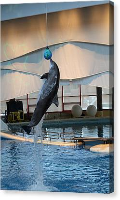 Dolphin Show - National Aquarium In Baltimore Md - 1212234 Canvas Print by DC Photographer