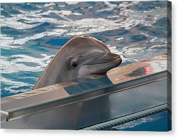 Dolphin Show - National Aquarium In Baltimore Md - 1212281 Canvas Print by DC Photographer