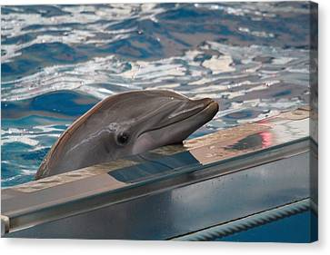 Dolphin Show - National Aquarium In Baltimore Md - 1212282 Canvas Print by DC Photographer