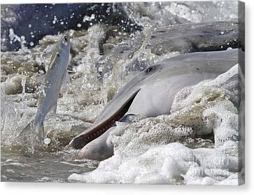 Dolphin Strand Feeding 2 Canvas Print