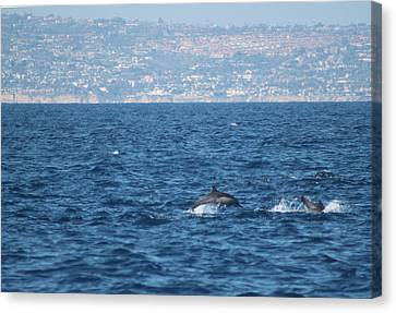 Dolphins Off The San Diego Coast Canvas Print by Valerie Broesch