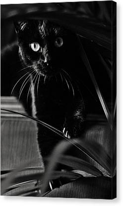 Domestic Black Panther Canvas Print by Laura Melis