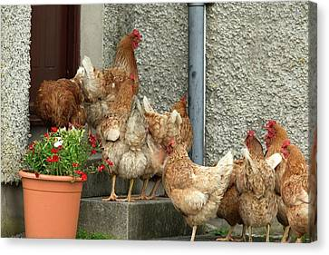 Domestic Chickens On Doorstep Canvas Print by Simon Booth