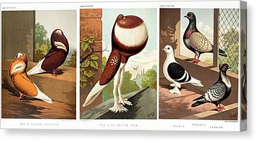 Domestic Fancy Pigeon Breeds Canvas Print