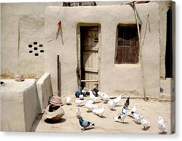 Domestic Pigeons In Mud House Canvas Print by Iftikhar Ahmed