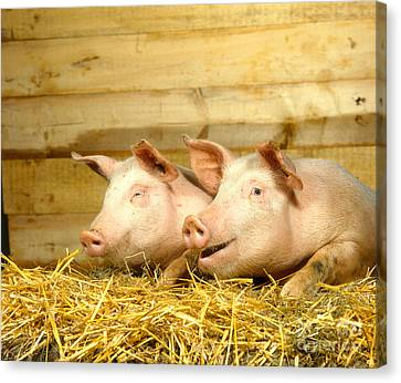 Domestic Pigs Canvas Print by Hans Reinhard