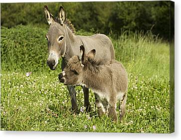 Donkey With Foal Canvas Print by Jean-Michel Labat