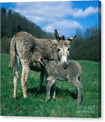 Donkey With Young Canvas Print by Hans Reinhard