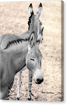 Donkeyflected Canvas Print by Bill Tiepelman