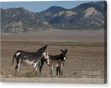 Donkeys In The Colorado Rockies Canvas Print by Juli Scalzi