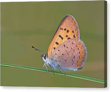Dorcas Copper Canvas Print