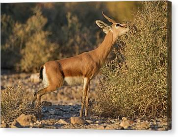 Dorcas Gazelle (gazella Dorcas) Canvas Print by Photostock-israel