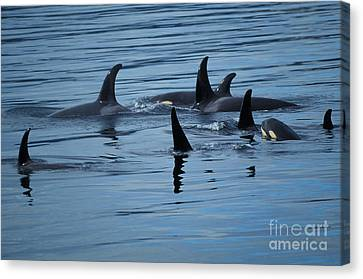 Dorsal Fins Of Killer Whales Orcinus Canvas Print by Ron Sanford