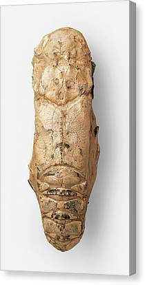 Dorsal View Of Fossilized Linuparus Canvas Print by Dorling Kindersley/uig