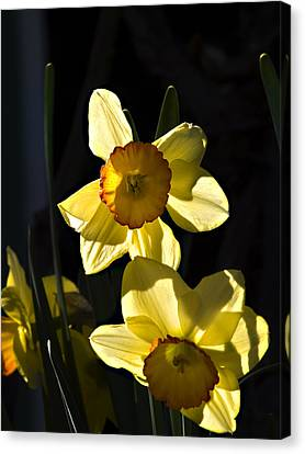 Canvas Print featuring the photograph Dos Daffs by Joe Schofield