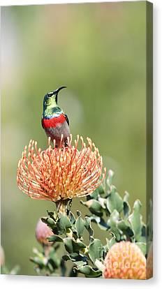 Double Collared Sunbird Canvas Print