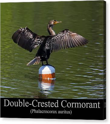Phalacrocorax Auritus Canvas Print - Double Crested Cormorant by Chris Flees