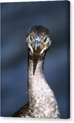 Double-crested Cormorant Canvas Print - Double-crested Cormorant Phalacrocorax by Vintage Images