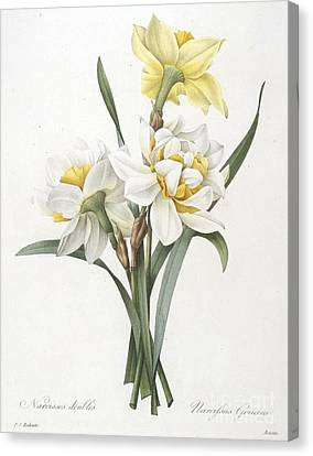 Double Daffodil Canvas Print by Pierre Joseph Redoute