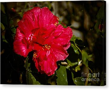 Double Hibiscus Canvas Print by Robert Bales