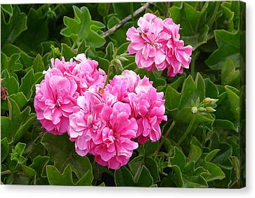 Canvas Print featuring the photograph Double Pink by Lew Davis