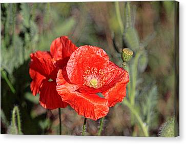 Double Poppies Canvas Print by Linda Phelps