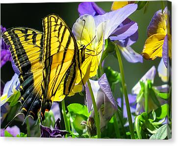 Double-tailed Swallowtail Buftterfly Canvas Print by Dawn Key