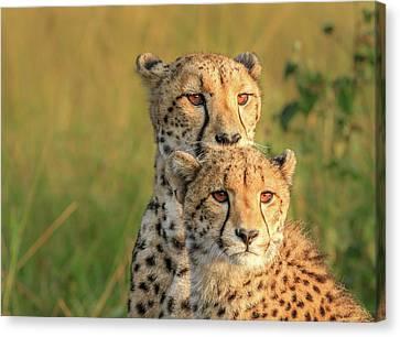 Cheetah Canvas Print - Double Team by Jaco Marx