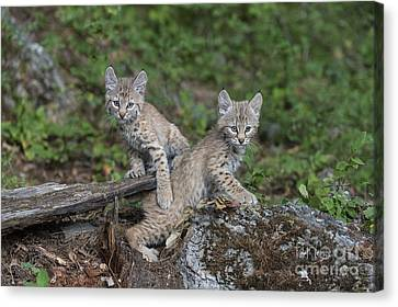 Baby Bobcat Canvas Print - Double Trouble by Sandra Bronstein