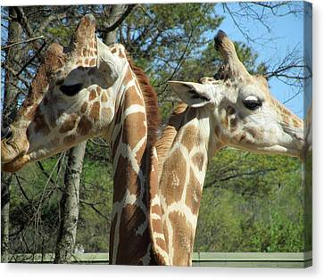 Giraffes With A Twist Canvas Print