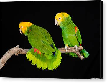 Double Yellow-headed Amazon Pair Canvas Print