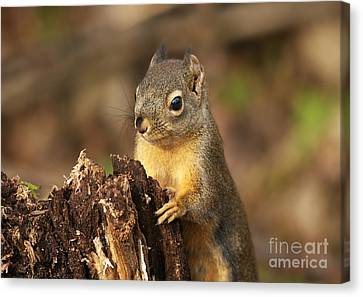 Douglas Squirrel On Stump Canvas Print by Sharon Talson