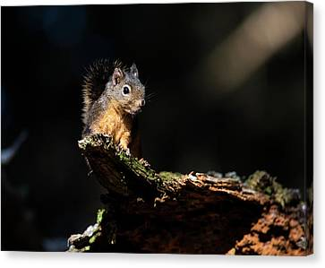Douglas Squirrel  Tamiasciurus Canvas Print by Robert L. Potts